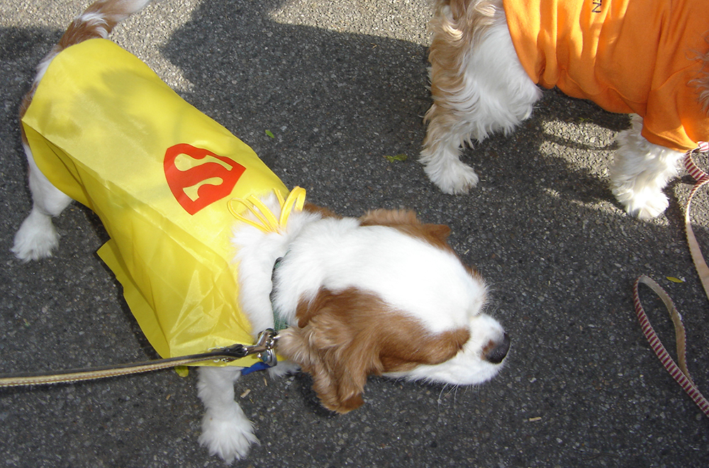 Halloween Superman Dog